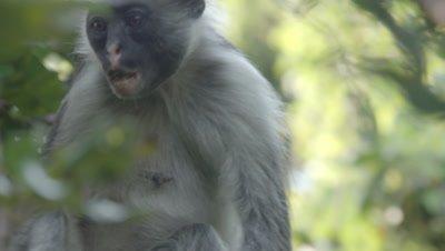 Zanzibar Red Colobus monkey adult feeding in tree