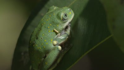 Tiny Yellow-spotted Tree Frog sitting on leaf (Leptopelis flavomaculatus)