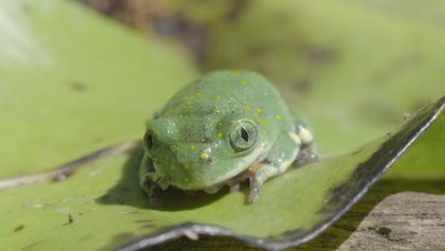Tiny Yellow-spotted Tree Frog sitting on leaf facing camera (Leptopelis flavomaculatus)