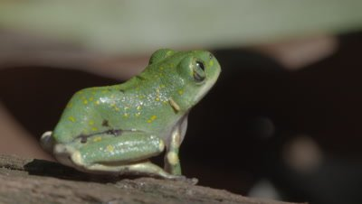 Tiny Yellow-spotted Tree Frog on dead tree branch, jumps out of shot (Leptopelis flavomaculatus)