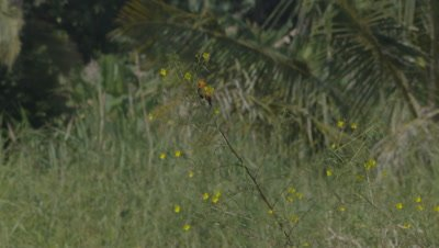 Zanzibar Red Bishop bird standing on yellow flowering plant in windy grasslands