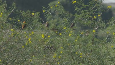 Male Zanzibar Red Bishop bird with several females in yellow flowering plant in windy grasslands