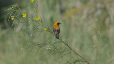Male Zanzibar Red Bishop bird standing in yellow flowering plant in windy grasslands, flies out of frame