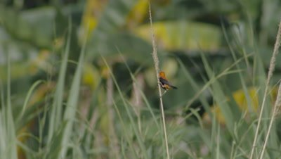 Male Zanzibar Red Bishop bird standing atop tall grass in windy grasslands