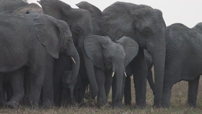 Elephant herd feeding on grass, flapping ears to cool down