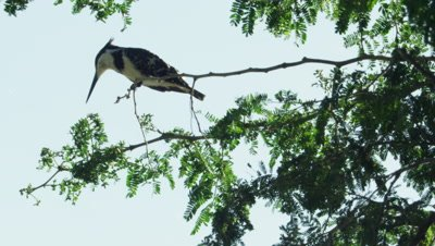 Pied Kingfisher perched on branch