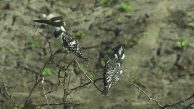 Pair of Pied Kingfishers perched in tree