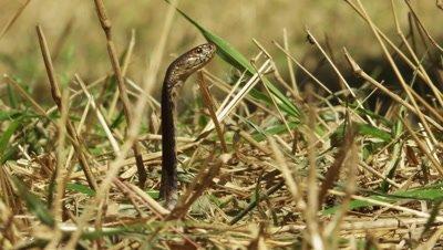 African Cape Cobra in dry grass