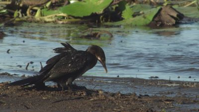 Double-crested Cormorant standing at the water's edge