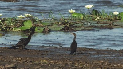 Two Double-crested Cormorants standing at the water's edge