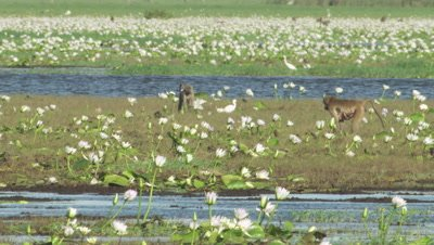 Baboon in standing on the water bank, surrounded by White Egyptian Lotus
