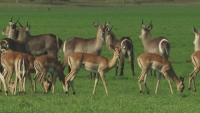 Antelope, possibly Impala, and Waterbuck grazing in a clearing