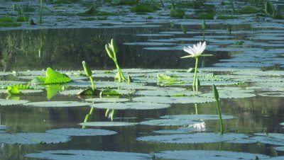 White Egyptian Lotus flower in water