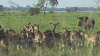 Antelope, possibly Impala, and Blue Wildebeest grazing