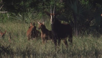 Sable Antelope and with another species of antelope in tall grass