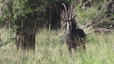Sable Antelope in tall grass
