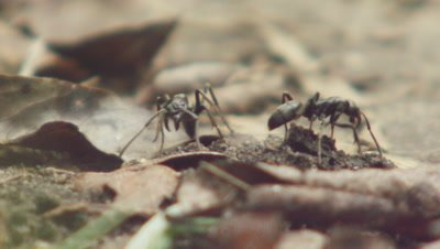Matabele ants crawling over dead leaves