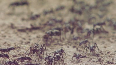 Matabele ants crawling over the dirt with captured Termites