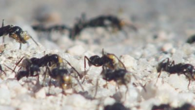 Matabele ants taking captured termites back to nest