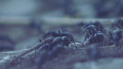 Matabele ant raiding column leaving their nest