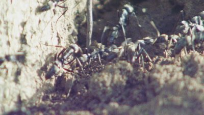Matabele ants crawling near their nest