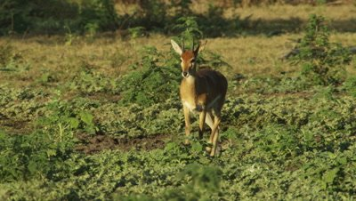 Male Impala walking on floodplain stops to lick leg