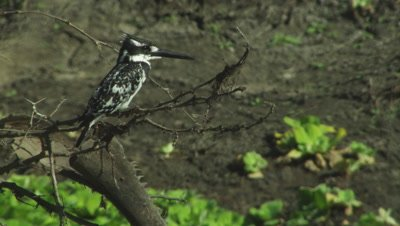 Pied Kingfisher perched in tree takes flight