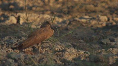 Hamerkop standing on muddy bank