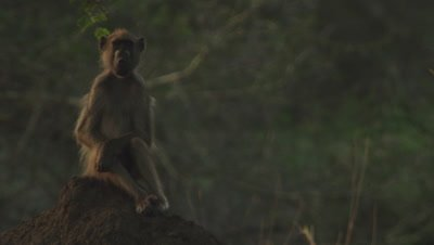 Baboons, possibly Yellow Baboons, lounging on ant hill