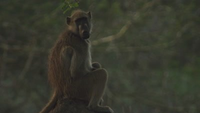 Baboon, possibly Yellow Baboon, on Ant mound