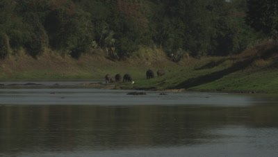 Crocodiles by water's edge with Hippos grazing and swimming close by