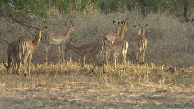 Herd of Impala grazing