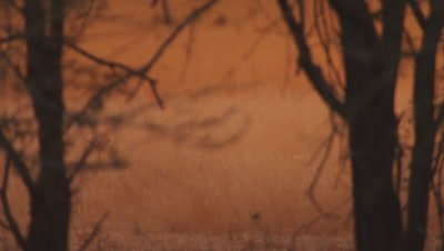 Impala walks through misty golden light through trees