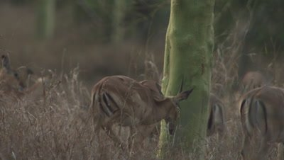 Herd of Impala walking