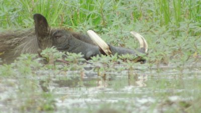 Warthog resting/cooling off in swamp water