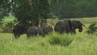 Elephant herd grazing in a clearing in the savanna