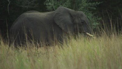 Elephant walking through the tall savanna grass