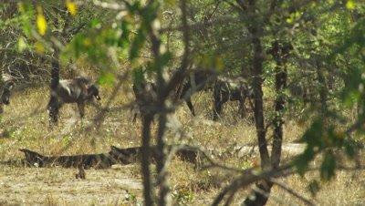 Blue Wildebeest walking through bush