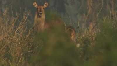 Waterbuck standing in long savanna grass