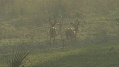 Male Impala running in the mist