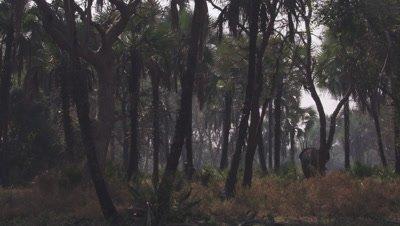 Elephant walking through a dense forest