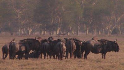 Herd of Blue Wilderbeast