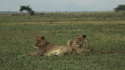 Two African lionesses laying on floodplain