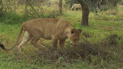 Lioness walking in the savanna stops to poop/urinate as another lioness feeds on an Antelope carcass in the background