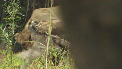 African Lion feeding on Antelope carcass