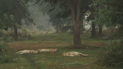 African Lion cubs sleep in wooded clearing
