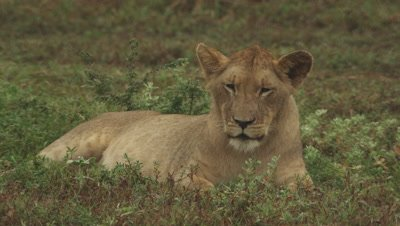 African Lion cubs rests in a wooded clearing; another cub walks nearby
