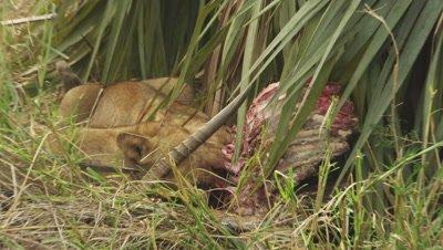 African Lions feeding on an Antelope carcass