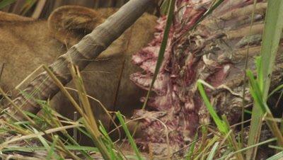 African Lion feeding on an Antelope carcass