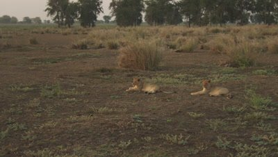 African Lion cubs laying on a floodplain